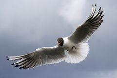 A gull catching a piece of bread Stock Images