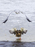 Gull chasing a duck. In the winter Royalty Free Stock Images
