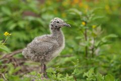 Gull chick. Stock Images
