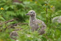 Gull chick. Royalty Free Stock Image