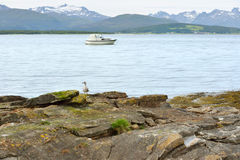 Gull chick (Larus) on rocky beach on background of snow-capped mountains Royalty Free Stock Photography