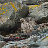 Gull chick (Larus) Royalty Free Stock Photos