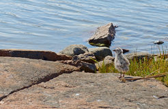 Gull chick on the rocky coast Stock Image