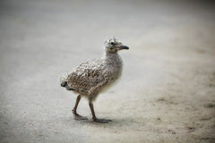 Gull chick Stock Photography