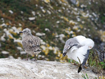 Gull chicks on Cies Islands in Atlantic, Spain Stock Photo