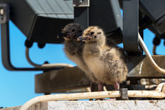 Gull chicks in the Roman Forum Stock Photography