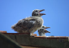 Gull chicks on roof Royalty Free Stock Photos