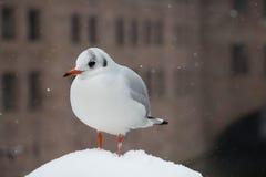 Gull close up. Stock Photo