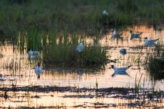 Gull colony. Black-headed gull colony on a flooded meadow in evening light Stock Photography