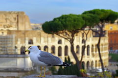 The Gull and the Colosseum Royalty Free Stock Images