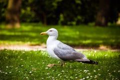 Gull. Confident gull walking around in the park Stock Photo