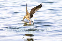 Gull, cormorant dives. Seagull, cormorant dives. The picture on the theme of the life of birds and nature Stock Images