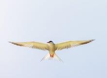 Gull Cormorant nei precedenti soleggiati blu del cielo fotografia stock