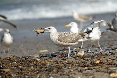 Gull with crab Royalty Free Stock Images