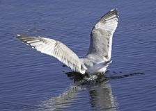 Gull Crash Landing Royalty Free Stock Images