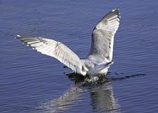 Gull Crash Landing Royalty Free Stock Images