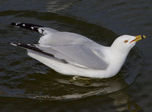 The gull with the crazy sight is drinking the water Stock Images
