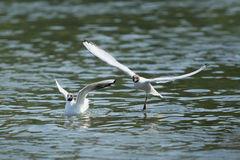Gull dancing Royalty Free Stock Photography