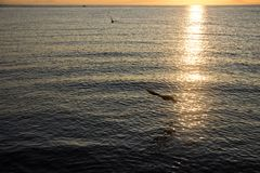 Gull at dawn. Vladivostok, Russian island Royalty Free Stock Photo