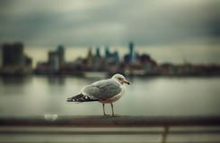 The gull at Delaware river. The gull at the Delaware river - Philadelphia, PA Stock Images