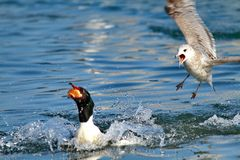 Gull and duck and lake Stock Photography