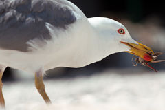 Gull eating. Grasshopper in beak of gull Stock Photos