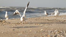 Gull eating bread crumbs. On the beach in Zatoka, Ukraine Royalty Free Stock Images