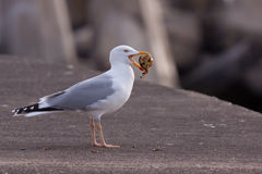 Gull eating a crab Stock Photo
