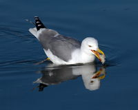 Gull eating on the lake Royalty Free Stock Image