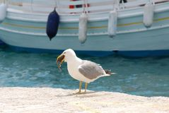 Gull eating a rat, Skiathos Royalty Free Stock Photography