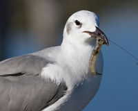 Gull Eating Shrimp. A laughing gull found a shrimp from a nearby salt marsh Royalty Free Stock Image