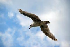 Gull en el cielo en un día nublado Fotografía de archivo libre de regalías