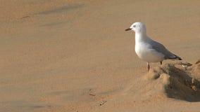 Gull en la playa, bahía de oro, Nueva Zelanda almacen de video