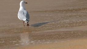Gull en la playa, bahía de oro, Nueva Zelanda almacen de metraje de vídeo