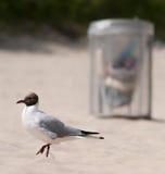 Gull en la playa limpia con el compartimiento de basura Fotografía de archivo