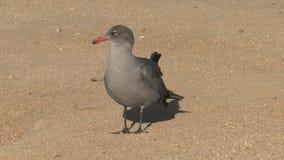 Gull en la playa Westcoast, California, Estados Unidos metrajes