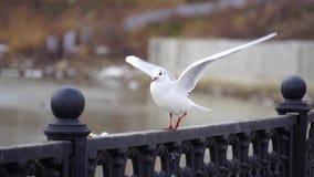 Gull en la verja del hierro en el río en día nublado y fondo grande del paisaje urbano Pájaro que come el pan almacen de metraje de vídeo