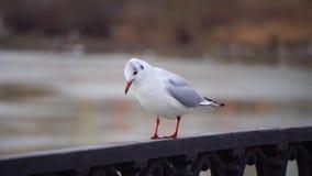 Gull en la verja del hierro en el río en día nublado y fondo grande del paisaje urbano Pájaro que come el pan metrajes