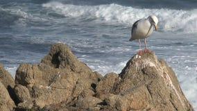 Gull en las rocas Westcoast, California, Estados Unidos almacen de metraje de vídeo