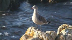 Gull en las rocas Westcoast, California, Estados Unidos almacen de video