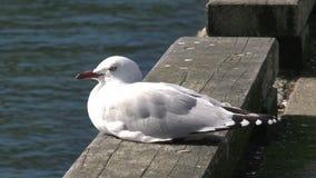 Gull en un embarcadero que se va en Picton, Nueva Zelanda, almacen de metraje de vídeo
