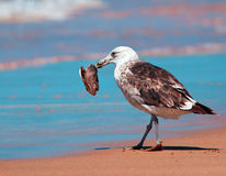 Gull feeding on fish head Stock Image