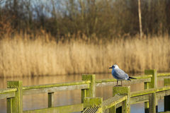 Gull on fence Royalty Free Stock Photo