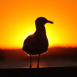 Gull on Fire Stock Photography