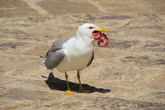 Gull with fish Royalty Free Stock Photography