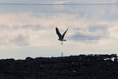 Lake Lama, rising Gull. Royalty Free Stock Photos