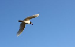 Gull flies high in the sky blue to distant lands Stock Photography
