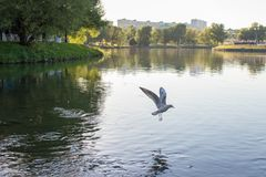 The gull flies with open wings over the lake. Pond with green beaches and trees. stock photo