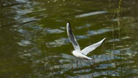 A gull flies by the river. Tomsk. Russia royalty free stock photo