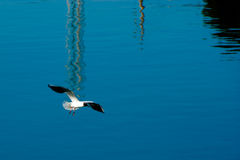 Gull in flight. Gull flying over Neretva river in Metkovic, Croatia Stock Photos